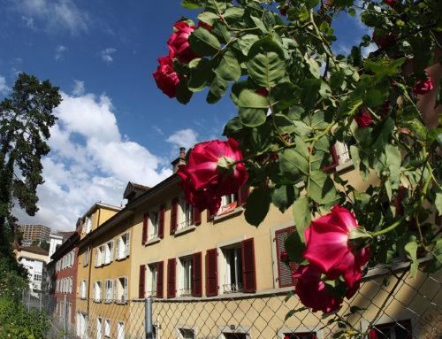 Les rosiers de la rue du Vallon